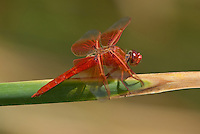 389310024 a wild male flame skimmer libellula saturata perches on a cattail reed along piru creek at frenchmans flat los angeles county california united states
