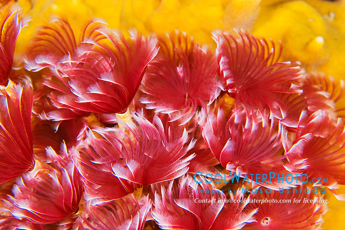 social feather duster worms, Bispira brunnea, segmented worms, violet variety, feeding on plankton at night, West End, Grand Bahama, Bahamas, Atlantic Ocean