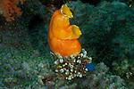 Golden sea squirts or tunicates (Polycarpa aurata). Misool, Raja Ampat, West Papua, Indonesia,  January 2010