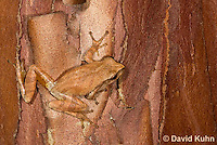0820-0903  Spring Peeper Frog Climbing on Red and Orange Bark on Tree Trunk, Pseudacris crucifer (formerly: Hyla crucifer) © David Kuhn/Dwight Kuhn Photography