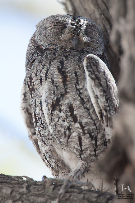 African scops owl asleep in a tree, roosting during the day in Etosha National Park, Namibia