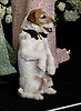"UGGIE.from ""The Artist""at the 84th Academy Awards, Kodak Theatre, Hollywood, Los Angeles_26/02/2012.Mandatory Photo Credit: ©Dias/Newspix International..**ALL FEES PAYABLE TO: ""NEWSPIX INTERNATIONAL""**..PHOTO CREDIT MANDATORY!!: NEWSPIX INTERNATIONAL(Failure to credit will incur a surcharge of 100% of reproduction fees)..IMMEDIATE CONFIRMATION OF USAGE REQUIRED:.Newspix International, 31 Chinnery Hill, Bishop's Stortford, ENGLAND CM23 3PS.Tel:+441279 324672  ; Fax: +441279656877.Mobile:  0777568 1153.e-mail: info@newspixinternational.co.uk"