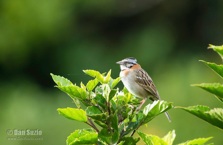 Rufous-collared Sparrow, Zonotrichia capensis, perched on a bush in Monteverde, Costa Rica