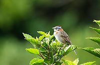 Rufous-collared Sparrow, Zonotrichia capensis, perched on a bush in Monteverde, Costa Rica