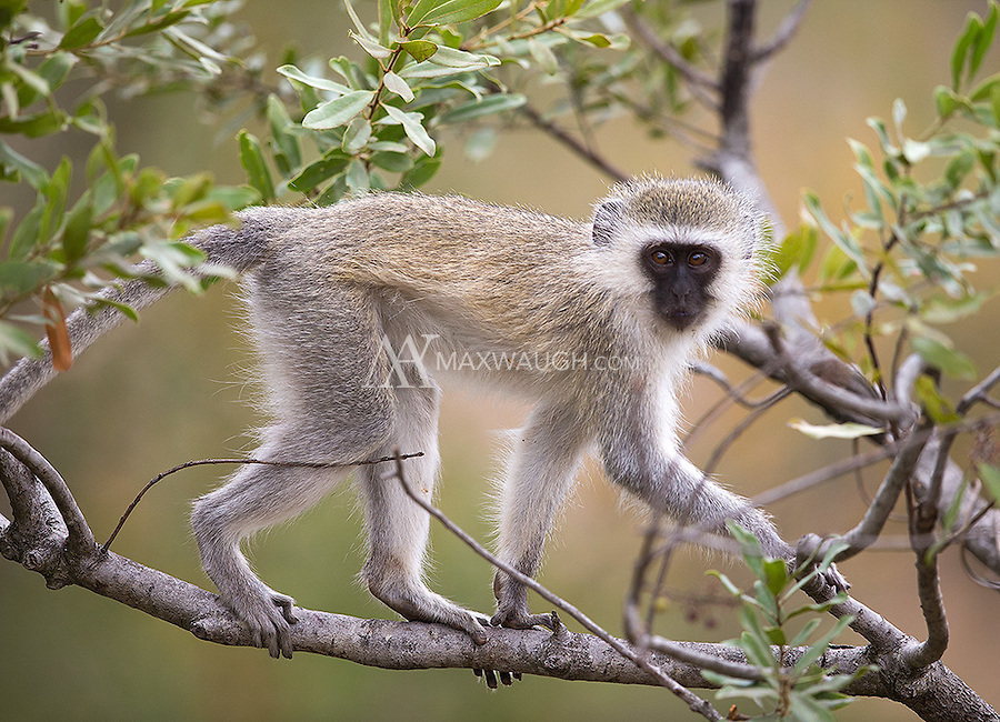 Vervet monkeys are a common sight in roadside bushes and trees.