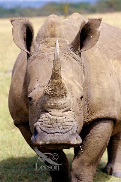 White rhinoceros (Ceratotherium simum) Africa.
