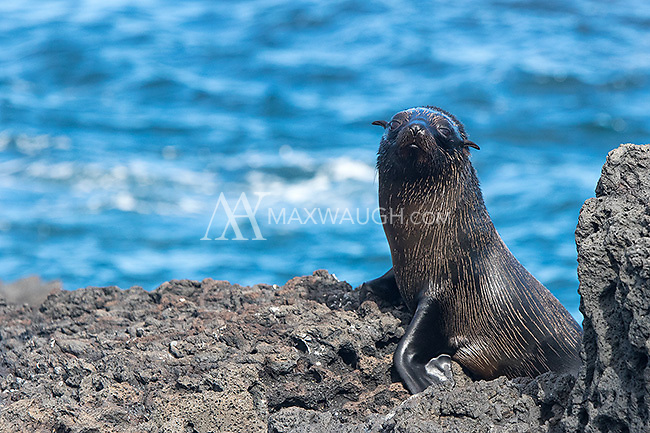 The Galapagos fur seal is another endemic species found in the archipelago.