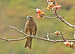 Black  Kite in Hong Kong