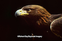 00788-00111 Golden eagle (Aquila chrysaetos) (captive animal)   OR