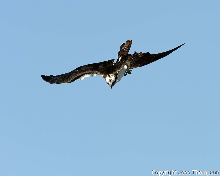 Osprey begins its dive to the water.