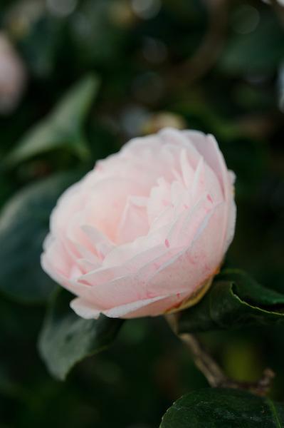 Camellia japonica 'Gray's Invincible'