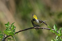The male Black-throated Green Warbler is distinctive with its black throat, yellow face, and olive crown. The Hermit, Golden Cheeked, and Townsend's Warbler are similar.