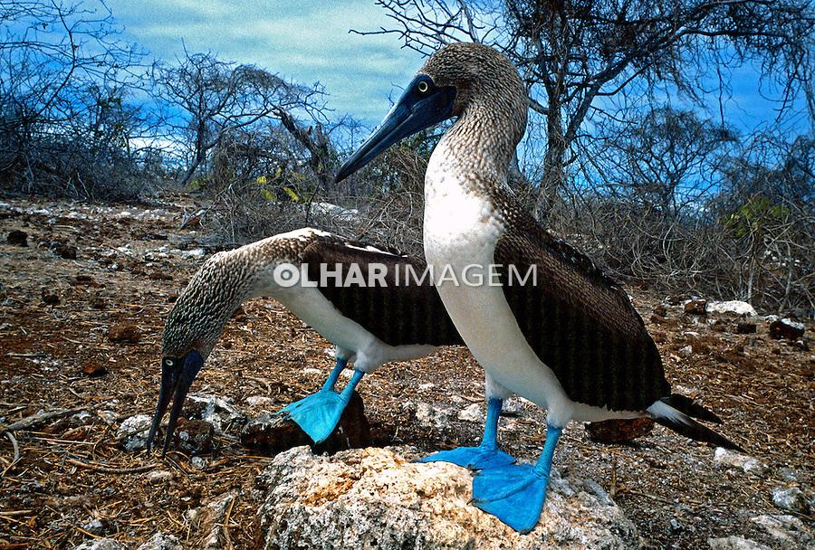 Aves Atobá (Sula nebouxii) no arquipélago de Galápagos, Equador. Foto de Juca Martins.<br /> Data: 1998