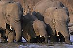 African elephants. Wild (Loxodonto africana)
