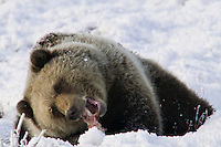 Grizzly bear feeds on the carcass of a caribou on the snow covered tundra, Arctic coastal plains, Alaska