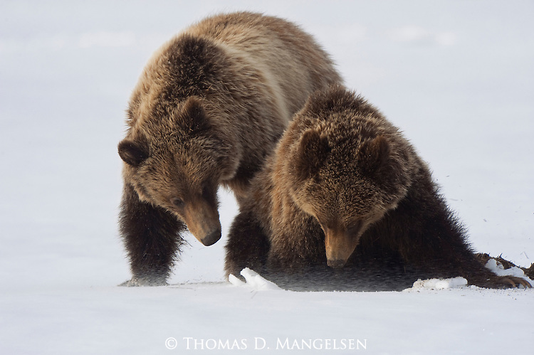 Two grizzly bear cubs foraging in the snow in Grand Teton National Park, Wyoming. (The cubs of grizzly no. 399.)