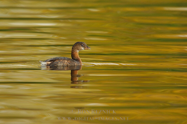 Pied-billed Grebe, Non-Breeding Plumage, Sepulveda Wildlife Refuge, Southern California