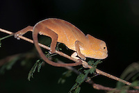 Parson's kameleon (Calumma parsonii)