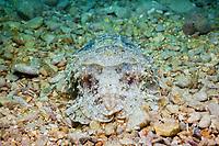 Common Cuttlefish, Sepia officinalis, Istria, Adriatic Sea, Croatia