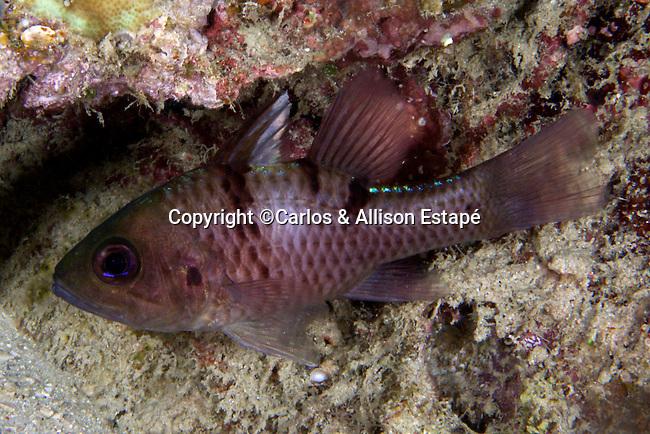 Apogon trimaculatus, Threespot cardinalfish, Raja Ampat, Indonesia