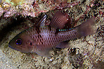 Apogon trimaculatus, Threespot cardinalfish, Raja Ampat, Indonesia
