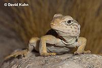 0612-1014  Great Basin Collared Lizard (Mojave Black-collared Lizard), Mojave Desert, Crotaphytus bicinctores  © David Kuhn/Dwight Kuhn Photography