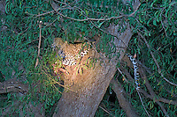 African Leapard w Impala kill in tree at night, South Luangwa Park, Zambia