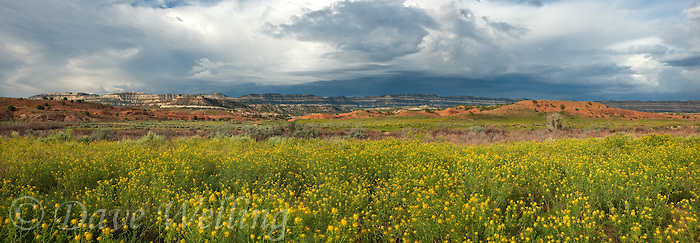 920750006 a panorama view of rabbitbrush blooms below the striaght cliffs or escalante rim along the hole-in-the-rock road in this panorama view near escalante in escalante grand staircase national monument utah united states