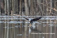 00807-03803 Bald Eagle (Haliaeetus lecocephalus) fishing Clinton Co. IL