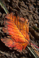 Fall Leaf on Kelp, Stuart Island, Washington, US