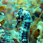 my first live seahorse sighting