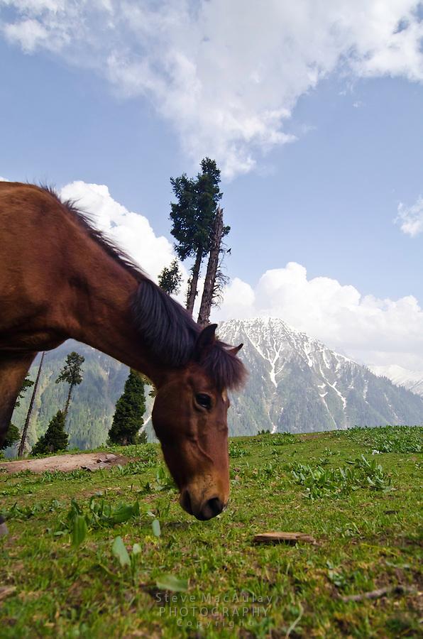 Horse grazing in mountain pasture, Western Himalayan Mountains, Kashmir, India..