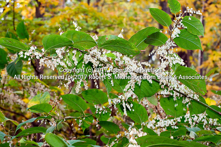 Japanese knotweed, and introduced invasive plant, Randolph, Massachusetts