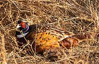 Ring-necked Pheasant, Phasianus colchicus, at Sacramento National Wildlife Refuge, California