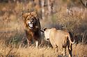 Botswana, Okavango Delta, Moremi; lioness approaching male lion showing flemen behaviour