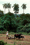 Cuba, 1992: Plowing with a pair of oxen in a tobacco field in Vinales area, Cuba.