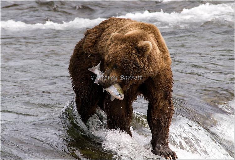 GRIZZLY BEAR.(URSUS ARCTOS).BROOKS FALLS KATMAI NATIONAL PARK AND RESERVE.ALASKA.07-03-2005.PHOTO BY FITZROY BARRETT  ©2005.