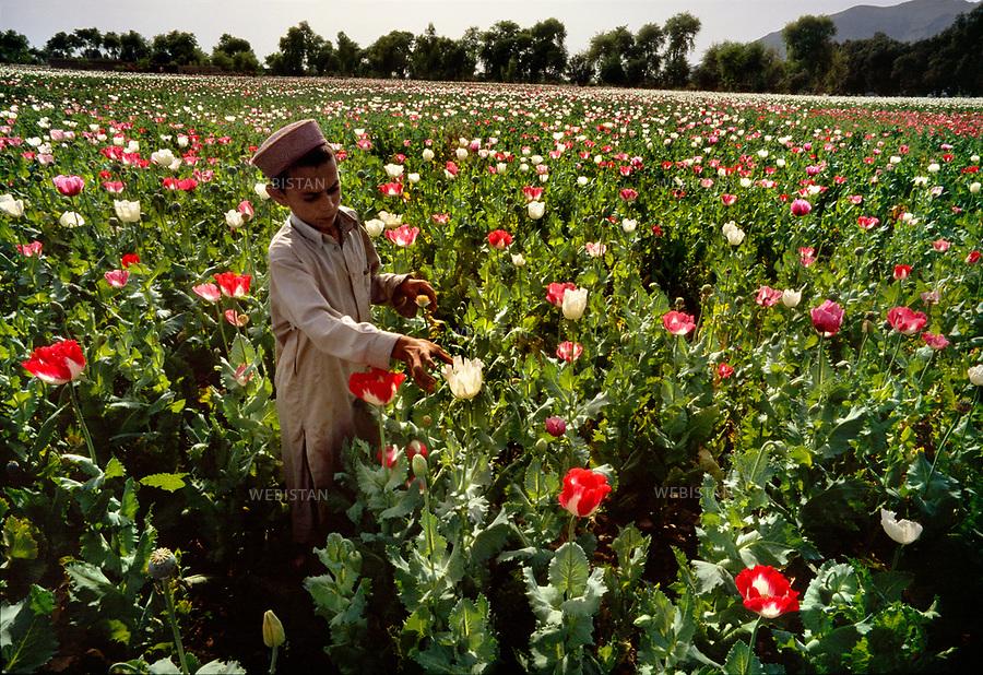 2004. An Afghan boy checks a poppy field. Un garçon afghan inspecte un champ de pavots.