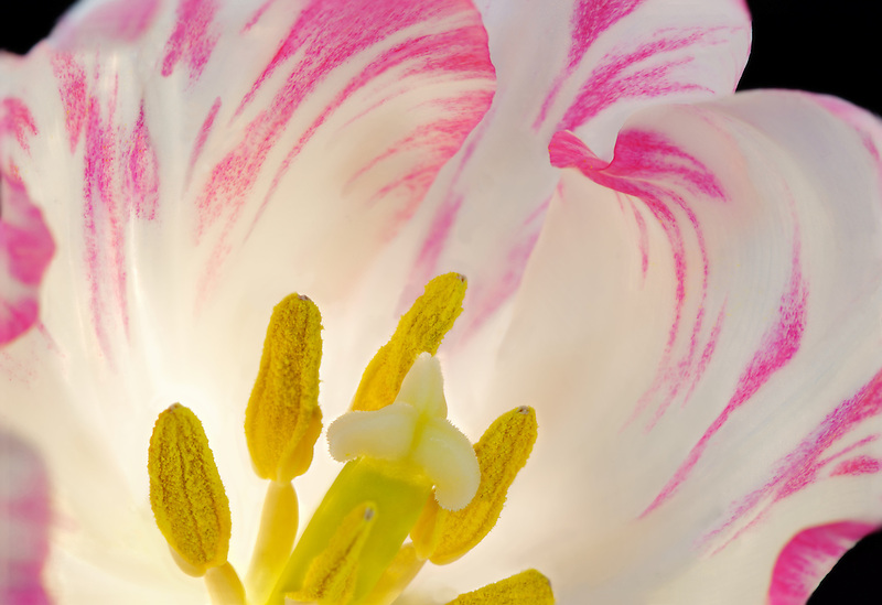 Pink Tulip close up.
