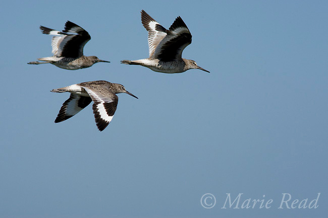 Willets (Catoptrophorus semipalmatus), three adults in flight, Bolsa Chica Ecological Reserve, California, USA
