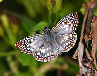 Male tropical checkered-skipper