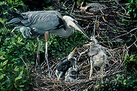 548107053 a wild adult great blue heron ardea heroides stands at its stick nest with nesting material as three chicks look on in ding darling national wildlife refuge in south florida