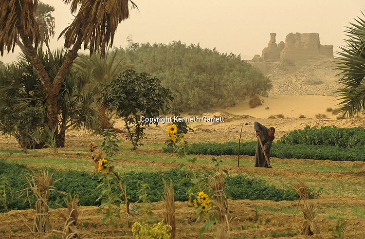Farmer tends fields  at Ain el-Labekha, ; Roman fort, Darb el-Arbaein, trade route; Egypt; Archaeologist; Salima Ikram; Kharga Oasis;Ancient Cultures; mm7195; Desert; Oasis