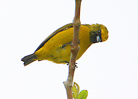 Female yellow-crowned euphonia
