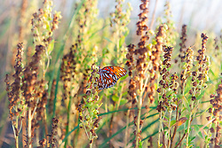 A butterly perched on the sea oats of Florida's Little Talbot Island.