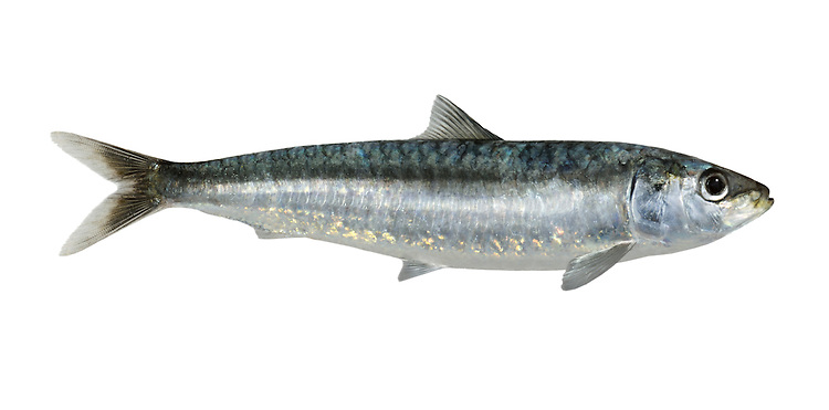 Pilchard Sardina pilchardus Length to 25cm<br /> Shoal-forming fish. Found in open seas, often inshore in summer months. Adult is streamlined, bluish above and silvery on sides and below. Scales are relatively large. Dorsal fin starts in front of pelvic fins. Widespread but rather scarce, mainly in SW; numbers much reduced in recent years due to overfishing.