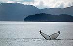 Whale - Alaska trip 6/2010.  Bob Gathany Photographer