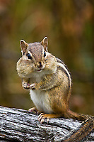 Red Squirrels & Chipmunks