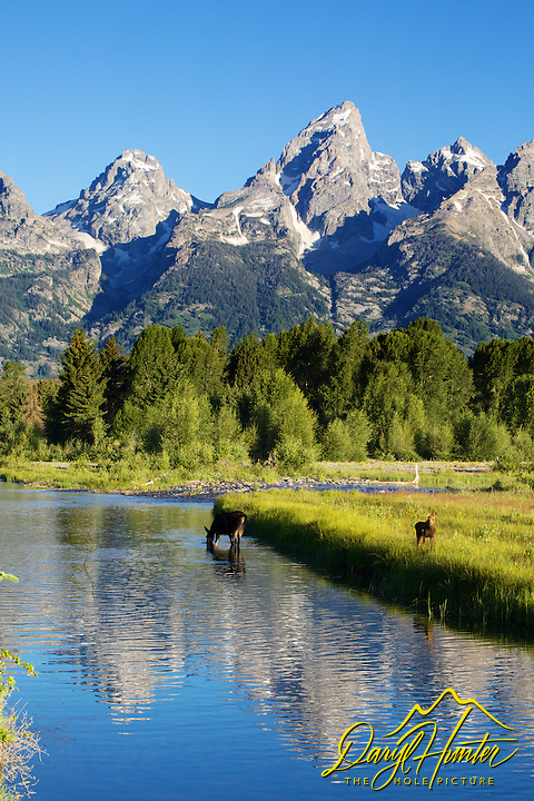 Moose cow and calf, Shwabackers Landing, Grand Teton National Park, Jackson Hole, Wyoming