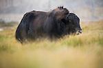 Yak (Bos grunniens), Sarychat-Ertash Strict Nature Reserve, Tien Shan Mountains, eastern Kyrgyzstan
